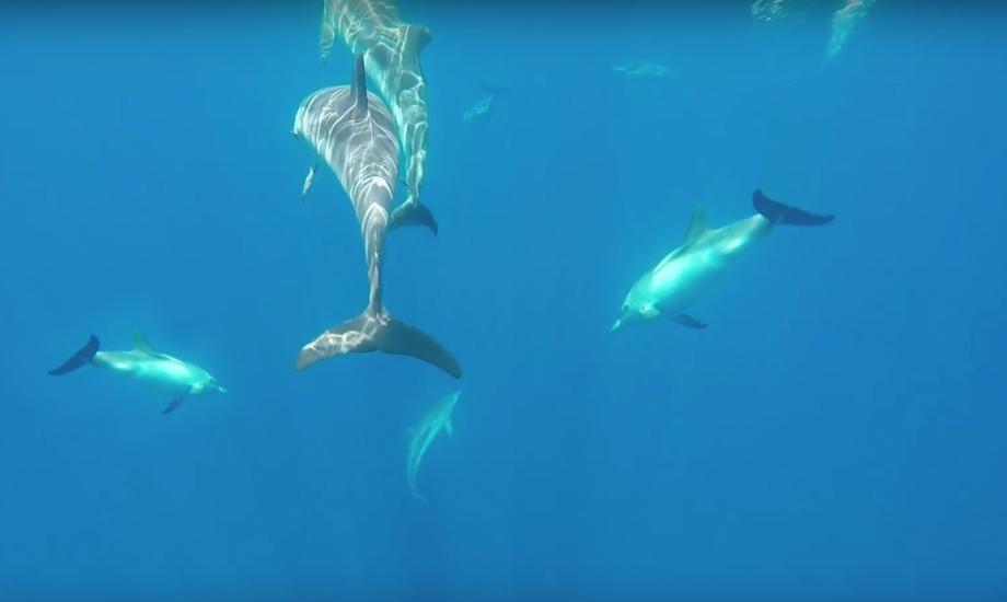 Delfiner filmet under seiling i Hellas